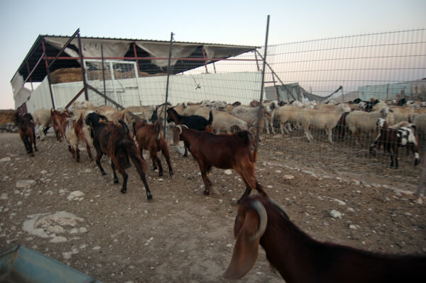 Shepard herds animals into a shelter in the unrecognized village of Umm el-Hiran. (Photo: Allison Deger)