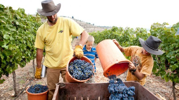 Evangelical Christians from the U.S. are living and working at Jewish settlements in the West Bank for weeks at a time. The Christians see Jewish expansion in the area as fulfilling biblical prophecy, though the settlements are a contentious issue between Israelis and Palestinians. Here volunteers harvest grapes. (Photo: Heather  Meyers/NPR)
