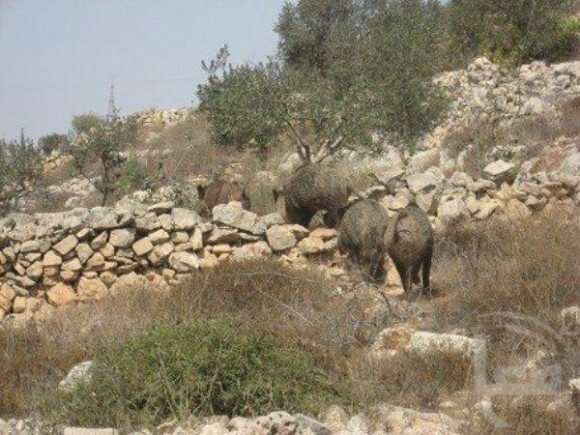 Photo of wild boars in Salfit from 2010 (Photo: Ma'an)