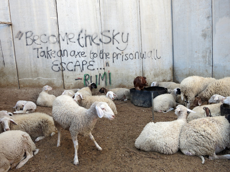 Lambs near the wall in Abu Dis, occupied East Jerusalem. Photo by Tom Suarez