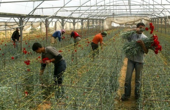Gazan workers harvest carnations in one of the enclave's huge greenhouses. (Photo via palstreet.blogspot.com)
