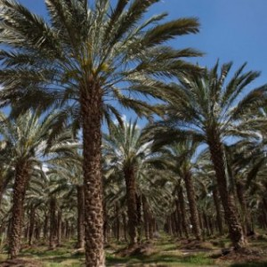 An Israeli date palm orchard in the Jordan Valley. (Photo: Moti Milrod/Haaretz)