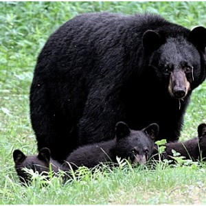 black_bear_w_5_cubs_nh_june_2007