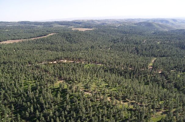 "Pine trees in the Yatir Forest which is being used to displace the Bedouin residents of the unrecognized village of Atir. The original caption on the photo from the website israeltoday.co.il read, ""Since the formation of the State of Israel, tree planters have been busy creating forests in the holy land, which was a barren wasteland for centuries."""