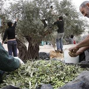 olive-palestinian-_1106310c