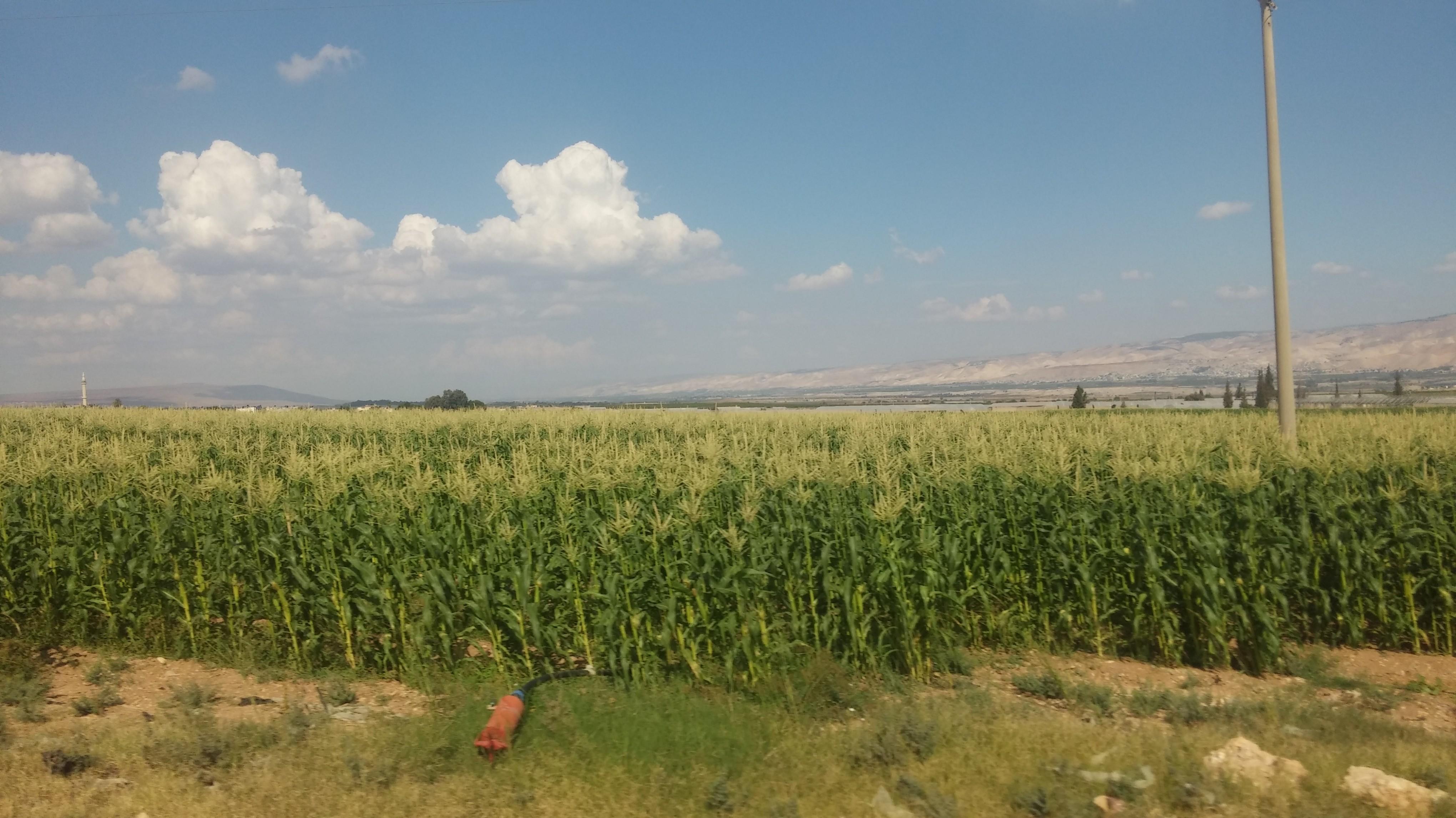 Cornfield in the Jordan River Valley (Photo:  Rodrigo Rodriguez)