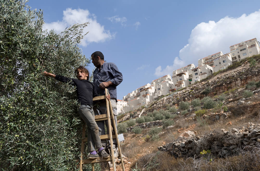 Mizhar Sukkar harvests olives from a grove with his family, directly below the settlement of Beitar Illit in Wadi Fukin. His plot of land is part of 370 acres from the village that Israel intends to seize. (Photo: Andrew Lichtenstein)