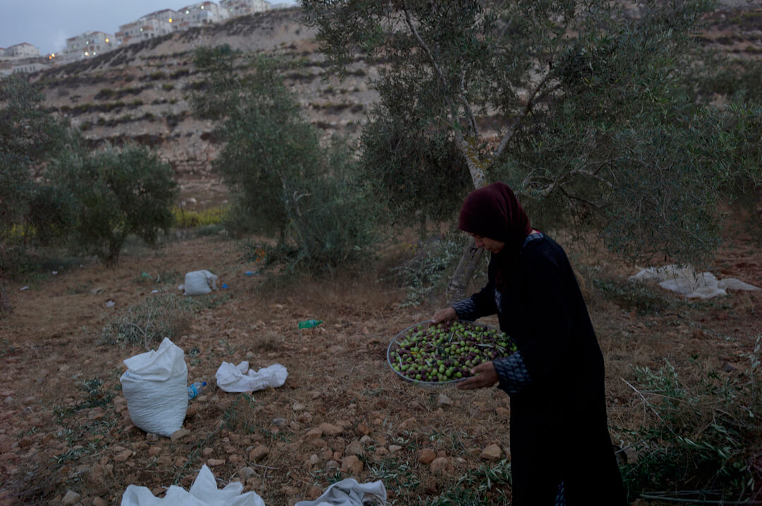 Fatmah al-Hroub Harvests olives from a plot of land owned by her family in Wadi Fukin. The small grove is under the threat of confiscation by Israelis who declared that over one-third of land belonging to the town would be declared state land. (Photo: Andrew Lichtenstein)