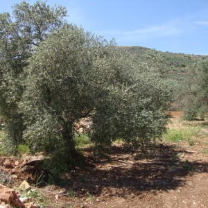 Olive tree in Turmus Aya, photo posted by Hala Kanan