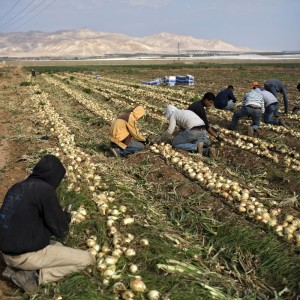 Palestinian workers farm onions in the Israeli agricultural settlement of Tomer in the Jordan Valley, West Bank, January 2015. (Photo: Oded Balilty/AP)