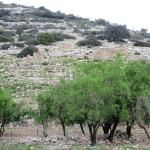 Olive trees in Wadi Qana, Palestinian lands surrounded by settlements, photograph by International Solidarity Movement