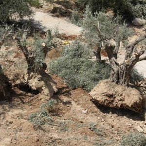 Uprooting of ancient olive trees near Beit Jala, August 17, 2015, by Mazin Qumsiyeh