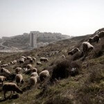 Sheep and a shepherd near an Israeli settlement, photo by Int'l Solidarity Movement, by way of IMEMC