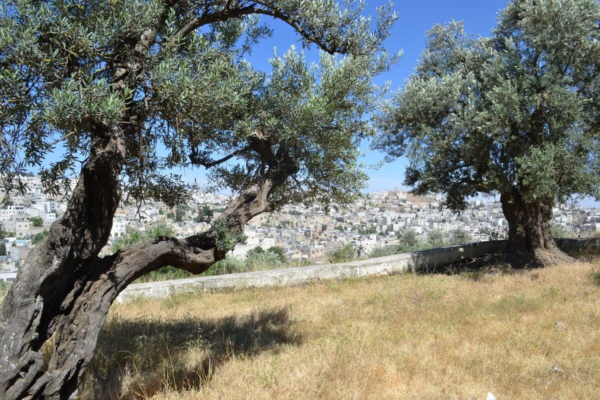Olive trees on Tel Rumeida, occupied Hebron, photo by David Kattenburg