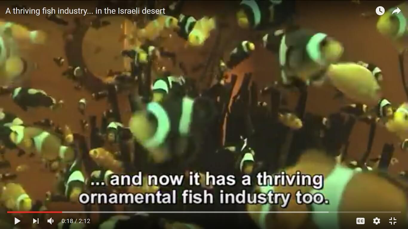 Clownfish, image captured from a YouTube video promoting the Israeli fishkeeping industry.