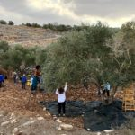A delegation from Eyewitness Palestine harvests olives at Asira ash-Shamaliya. (Photo: Nancy Murray)