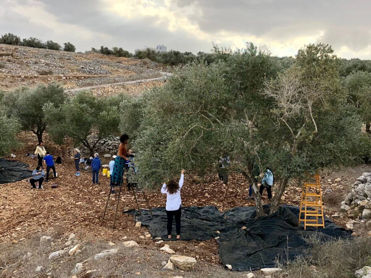 A delegation from Eyewitness Palestine harvests olives at Asira ash-Shamaliya. (Photo: Nancy Murray)