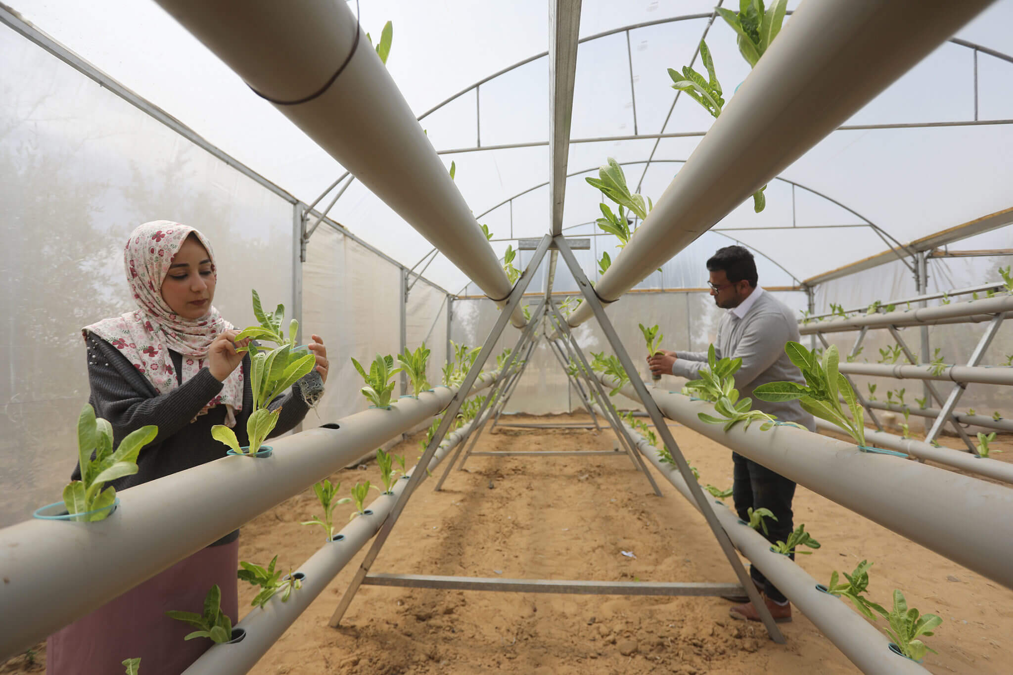 Agricultural engineers use the hydroponic method of agriculture, which grows plants in nutrient solutions with no soil