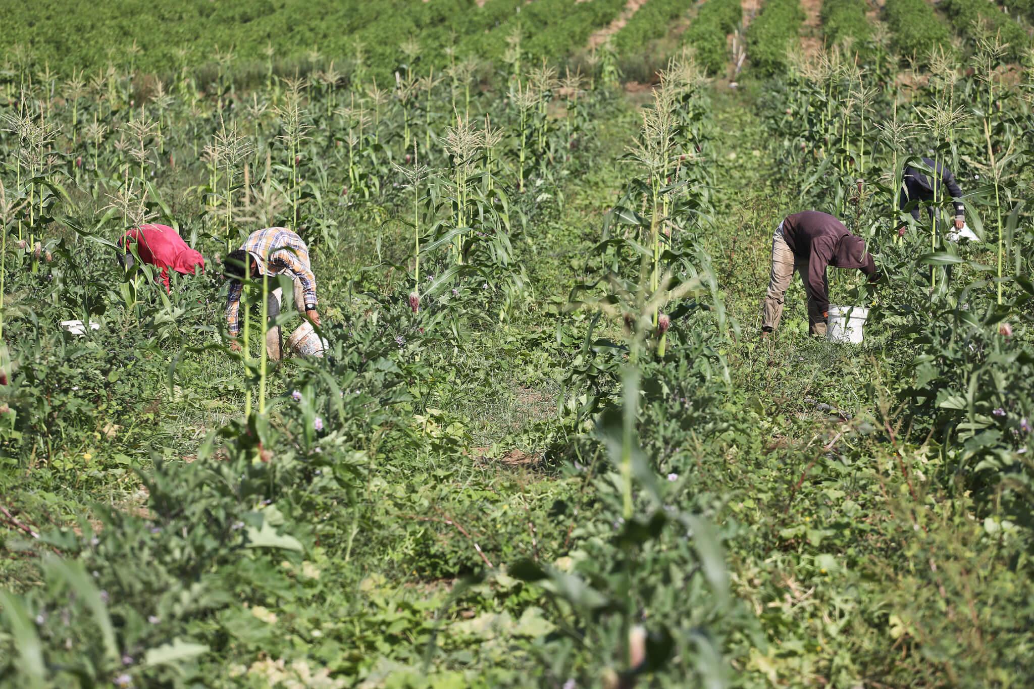 Gaza farmers harvest corn crops.