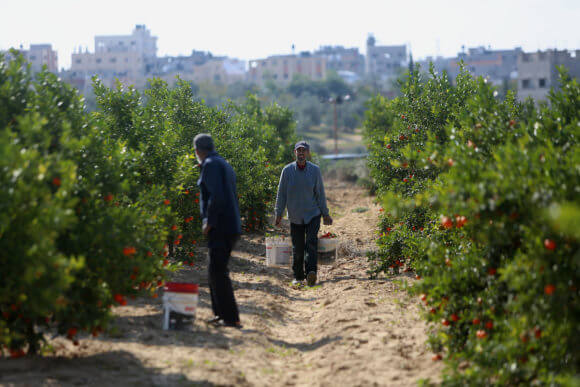 A Palestinian farmer harvests citrus fruits at a farm in eastern Gaza City on November 26, 2017. (Photo: Atia Darwish/APA Images)