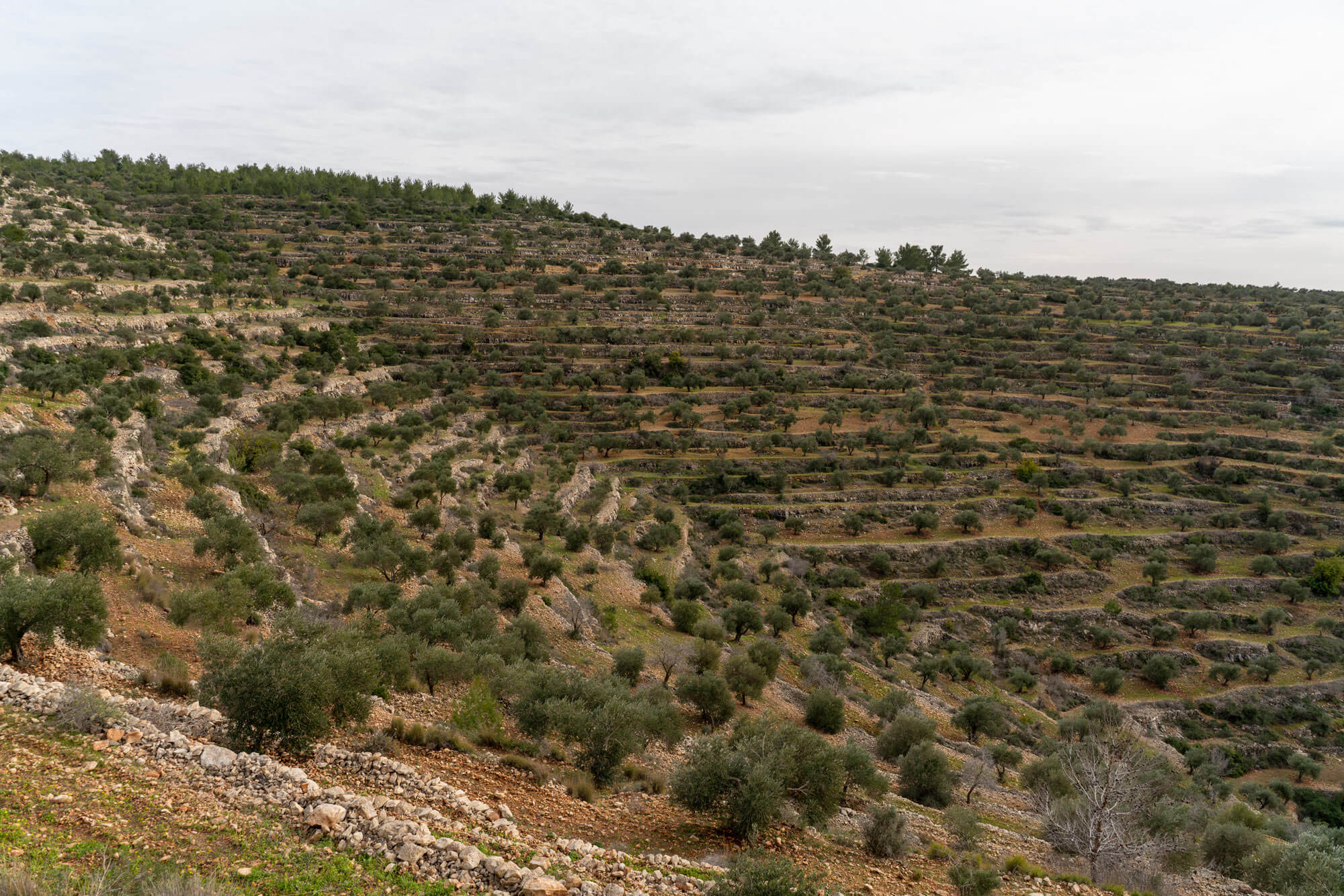 The Olive Field, 2019