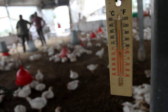 A Palestinian poultry farmer inspects dead chickens at his farm in the central Gaza Strip, June 04, 2014. Gaza's agricultural sector suffered devastating losses during a heat wave that hit Gaza Strip.
