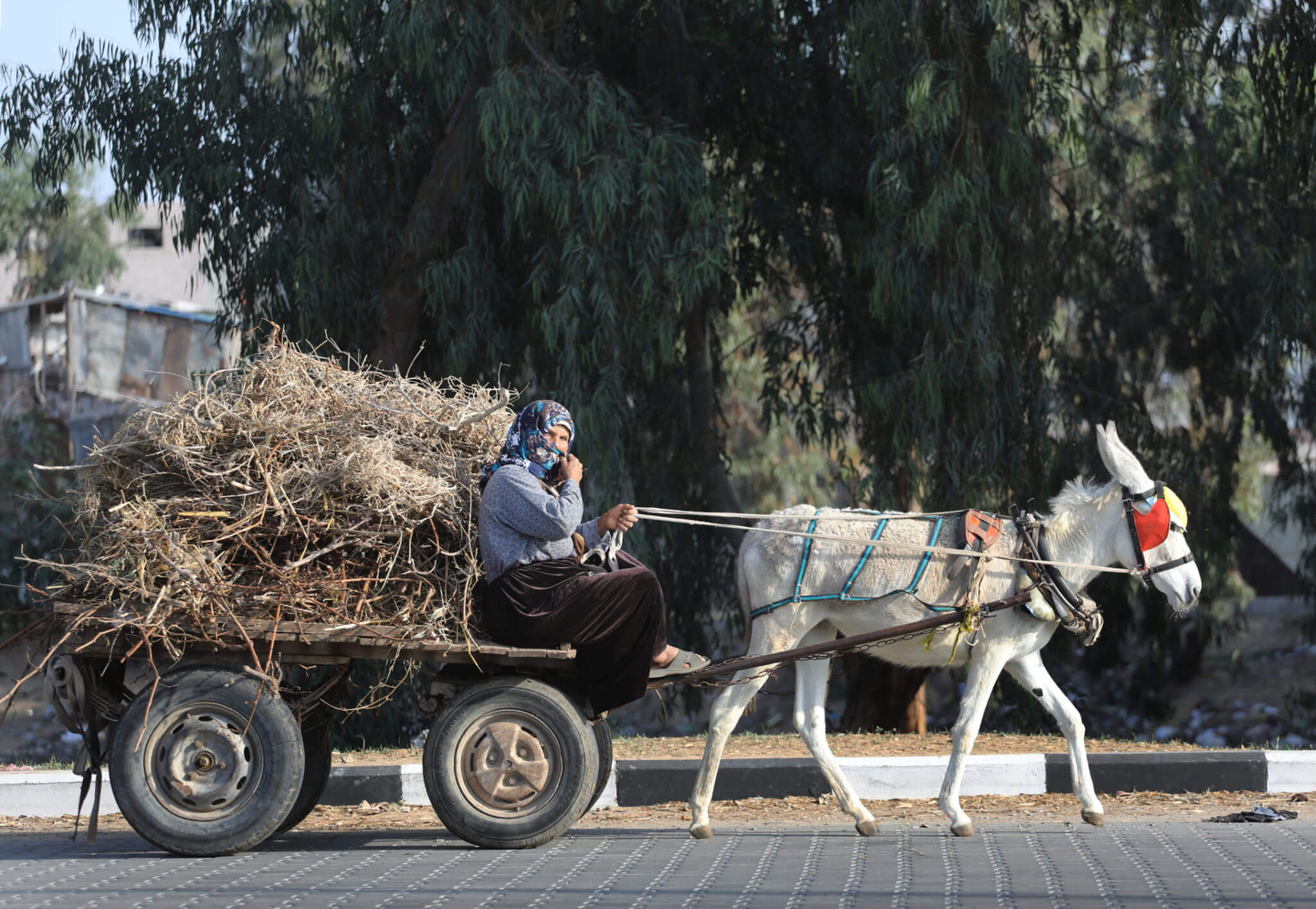 A Bedouin woman drives a donkey cart with extreme caution to collect firewood from agricultural areas, most of which are vulnerable to shelling.