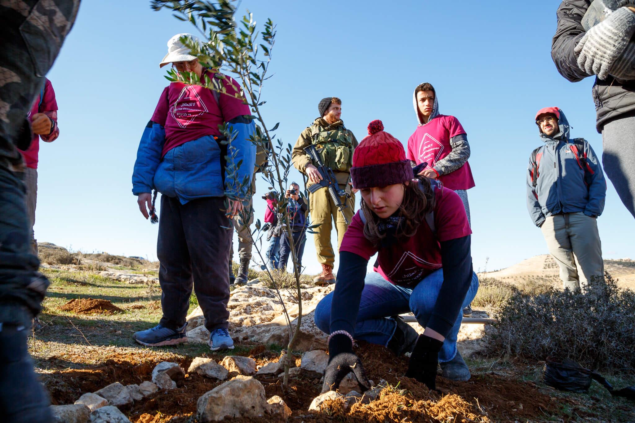 Activists plant dozens of olive trees in the area surrounding Ein al-Beida spring. (Photo: Miriam Deprez)