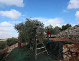 Palestinian farmers pick olives during a harvest season in the West Bank city of Salfit near the Ariel settlement on October 10, 2018. (Photo: Shadi Jarar'ah/APAImages)