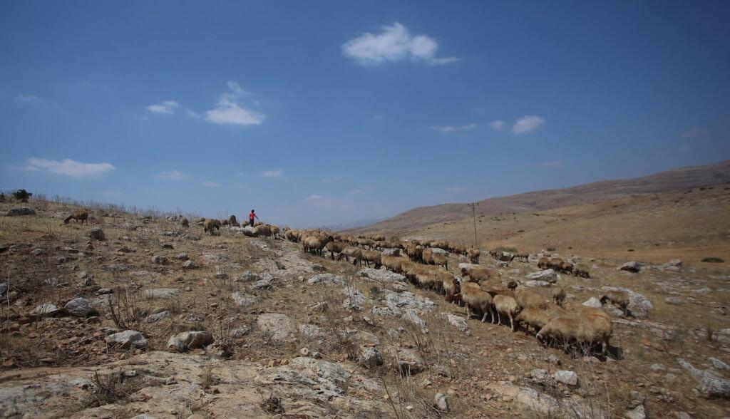 Bisan Kaabneh,10, grazes sheep near Khirbet Samra in the northern Jordan Valley, land threatened under Israeli plans to annex parts of the occupied West Bank, on June 30, 2020. (Photo: Shadi Jarar'ah/APA Images)